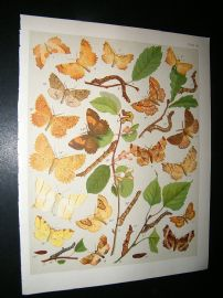 Kirby 1907 Ennomidae, Thorn Moths etc 46. Antique Print